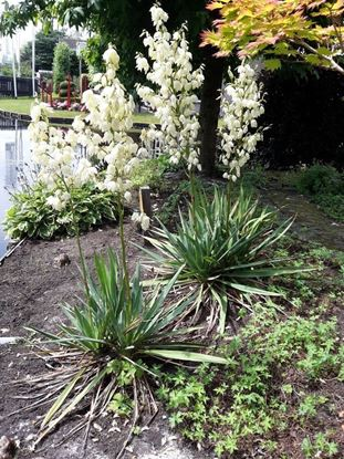 Picture of Yucca  filamentosa