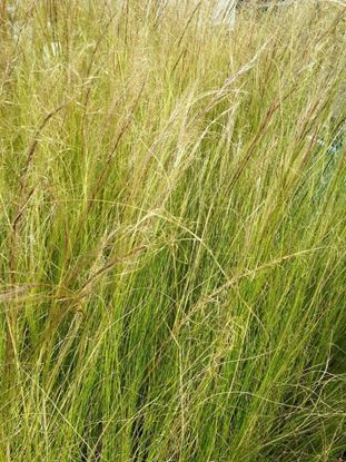 Picture of Stipa  tenuifolia