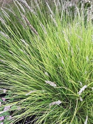 Picture of Sesleria  nitida