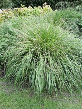 Picture of Pennisetum  alopecuroides