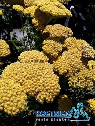 Picture of Achillea