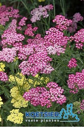 Picture of Achillea millefolium