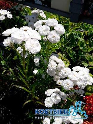 Picture of Achillea ptarmica