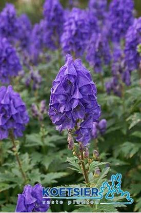 Picture of Aconitum  carmichaelii