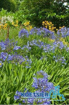 Picture of Agapanthus  africanus