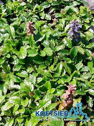 Picture of Ajuga  reptans