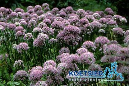 Picture of Allium
