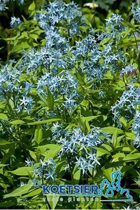 Picture of Amsonia  tabernaemontana
