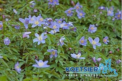 Picture of Anemone  nemorosa