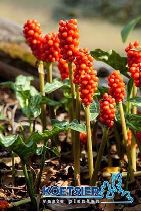 Picture of Arum italicum