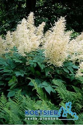 Picture of Aruncus  dioicus