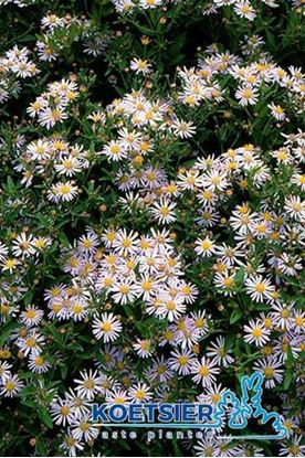 Picture of Aster  ageratoides