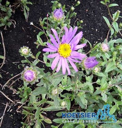 Picture of Aster  amellus