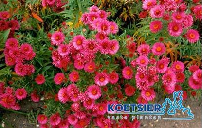 Picture of Aster  novae-angliae