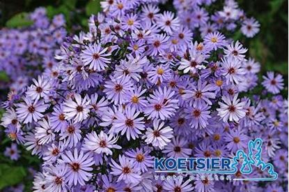 Picture of Aster  novi-belgii