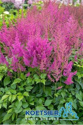 Picture of Astilbe  japonica