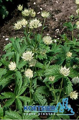Picture of Astrantia major