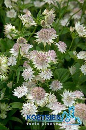 Picture of Astrantia