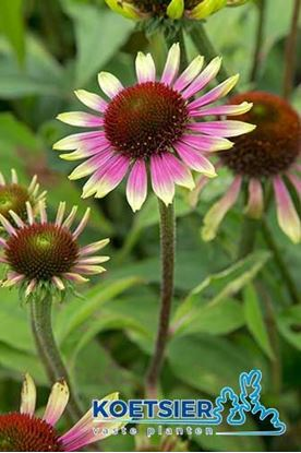 Picture of Echinacea purpurea