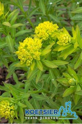 Picture of Euphorbia  palustris