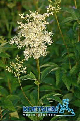 Picture of Filipendula  ulmaria