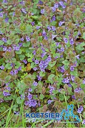 Picture of Glechoma hederacea