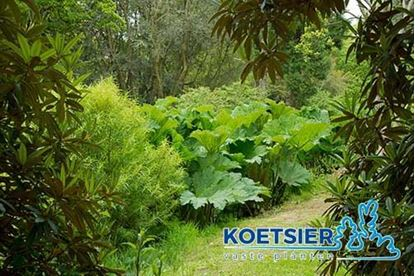 Picture of Gunnera  manicata