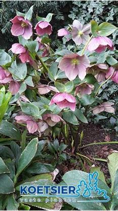 Picture of Helleborus  orientalis