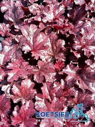 Picture of Heuchera