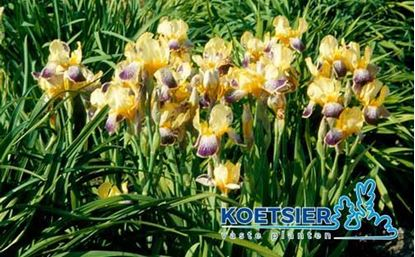 Picture of Iris  (G)