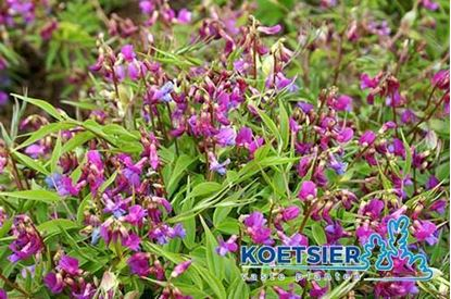 Picture of Lathyrus vernus