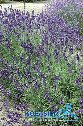 Picture of Lavandula angustifolia