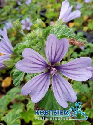 Picture of Malva  sylvestris
