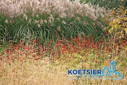 Picture of Miscanthus  sinensis