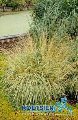 Picture of Molinia  caerulea