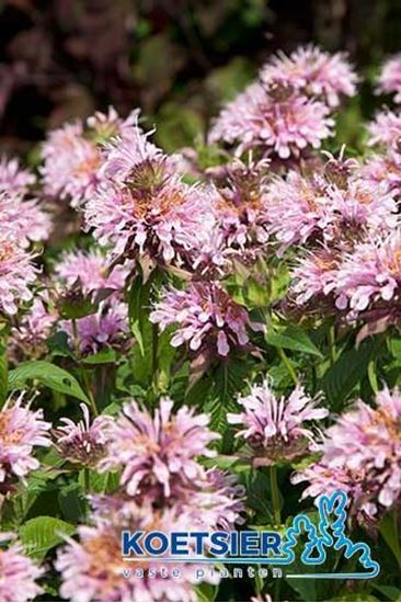 Picture of Monarda  'Beauty of Cobham'