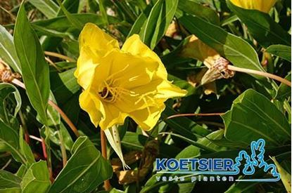 Picture of Oenothera macrocarpa