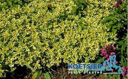 Picture of Origanum vulgare
