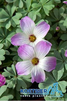 Picture of Oxalis  adenophylla