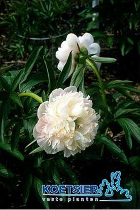 Picture of Paeonia officinalis