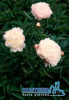 Picture of Paeonia (LD)