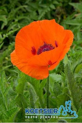 Picture of Papaver orientale