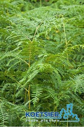 Picture of Pteridium  aquilinum