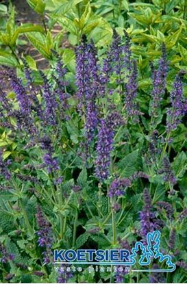 Picture of Salvia  nemorosa