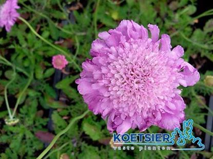 Picture of Scabiosa  columbaria