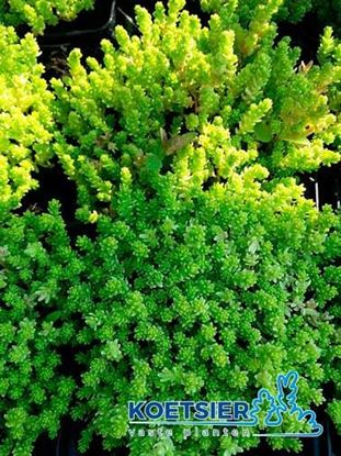 Picture of Sedum  acre