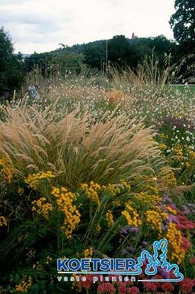 Picture of Stipa  calamagrostis