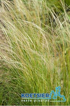Picture of Stipa  pennata