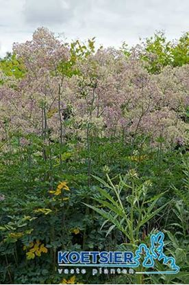 Picture of Thalictrum