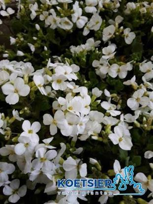 Picture of Arabis caucasica